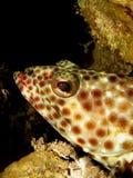мазеподобный grouper Стоковое фото RF