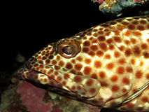 мазеподобный grouper Стоковая Фотография