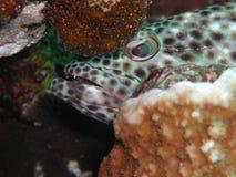 мазеподобный grouper 2 Стоковое Изображение