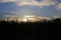 Маис, сладостная мозоль, кукурузное поле, в заходе солнца стоковые фото