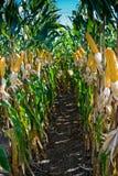 маис урожая Стоковые Фото
