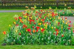 Майна ветреницы и daffodils Стоковые Фото