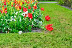 Майна ветреницы и daffodils Стоковое фото RF