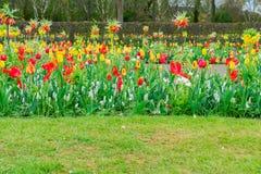 Майна ветреницы и daffodils Стоковое Изображение