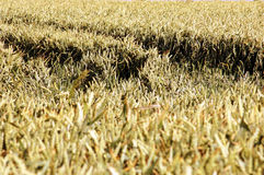 майны нивы стоковые фото