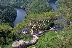 Майор меандра реки Влтавы horseshoe, выгодная позиция с деревом, Cze стоковое изображение rf