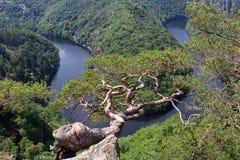 Майор меандра реки Влтавы horseshoe, выгодная позиция с сосной стоковое изображение rf