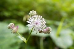 Майор Astrantia, большое masterwort в цветени, herbaceous цветковых растениях стоковое изображение rf