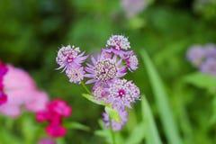 Майор Astrantia в саде Стоковые Изображения
