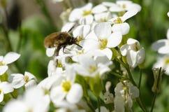 Майор Bombylis белых цветков и мухы пчелы Стоковое Изображение RF