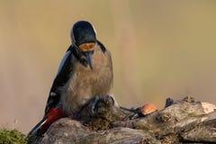 Майор dendrocopos Woodpecker Стоковые Фото