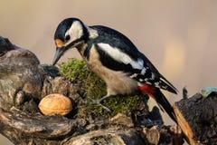 Майор dendrocopos Woodpecker Стоковое Изображение