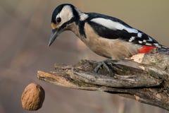Майор dendrocopos Woodpecker Стоковая Фотография RF