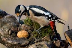 Майор dendrocopos Woodpecker Стоковые Изображения