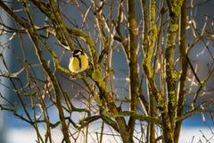 Майор Parus в зиме Стоковая Фотография RF