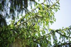 Майор Parus на дереве Стоковое Изображение RF