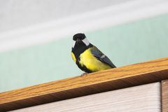 Майор Parus Птица в доме стоковые фото