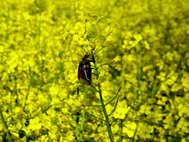 Майский жук на цветках сурепки Стоковое фото RF