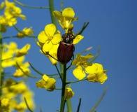 Майский жук на цветках сурепки Стоковое Изображение