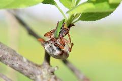 Майский жук Стоковое Фото