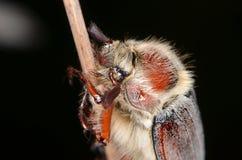 Майский жук (melolontha Melolontha) Стоковая Фотография RF