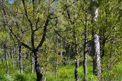 Май растительность лесов дуба Стоковая Фотография