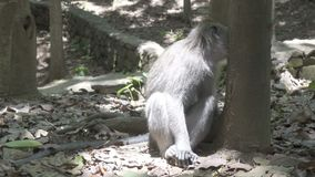 Макака краб-еды, fascicularis Macaca, также известные как длинн-замкнутая макака, лес Бали обезьяны Sangeh сток-видео