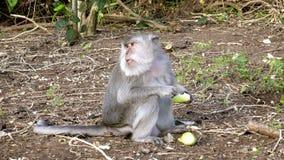 Макака краб-еды, fascicularis Macaca, также известные как длинн-замкнутая макака сток-видео