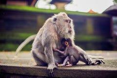 Макака обезьяны распологая на камень Висок обезьяны в Бали стоковые изображения rf