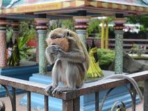 Макака обезьяны с кокосом Стоковая Фотография