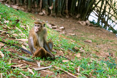 Макака toque шри-ланкийския Стоковое Фото