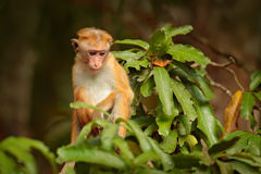 Макака Toque, sinica Macaca, обезьяна с солнцем вечера Макака в среду обитания природы, Шри-Ланке Деталь обезьяны, сцена живой пр Стоковые Изображения