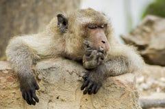 Макак спать Стоковые Фотографии RF