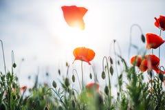 Маки весны Стоковое Фото