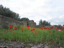 Маки в Италии Стоковое Изображение RF