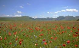 Маки в невозделанном поле травы в Pian большом около Castelluccio di Norcia, Умбрии, Италии стоковые изображения rf
