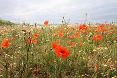 Маки в поле против плоского ландшафта в солнечности и облаках Стоковая Фотография