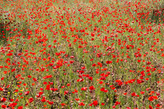 Маки в поле (12) Стоковые Фото