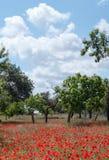 Маки в поле (13) Стоковая Фотография RF