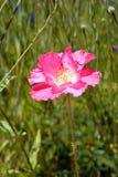 Маки в поле Wildflower Стоковое Изображение RF