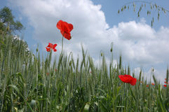 Маки в пшеничном поле Стоковые Фотографии RF