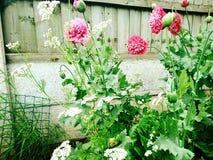 Маки в саде Стоковое Изображение