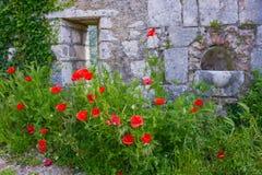 Маки зацветая около стены Стоковое Фото
