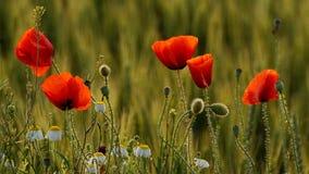 Маки и стоцветы на крае ячменя field Стоковая Фотография