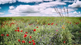 Маки и cornflowers на поле зеленого цвета лета акции видеоматериалы
