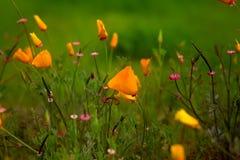 Маки Калифорнии между другими красивыми Wildflowers в природе стоковые изображения rf
