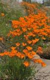 Маки Калифорнии Стоковая Фотография