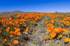 Маки Калифорнии - californica Eschscholzia Стоковые Фото