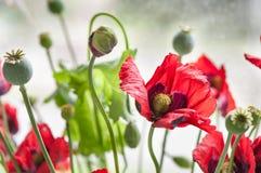 маки красные вектор детального чертежа предпосылки флористический Стоковая Фотография RF