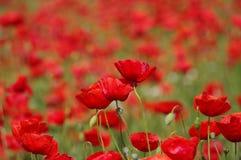 маки красные Стоковая Фотография RF